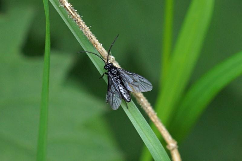 Salomonszegelbladwesp - Phymatocera aterrima
