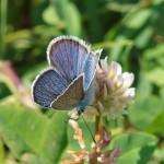 Blauwtje -onbekend