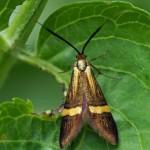 Geelbandlangsprietmot -Nemophora degeerella