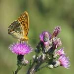 Keizersmantel -Argynnis paphia