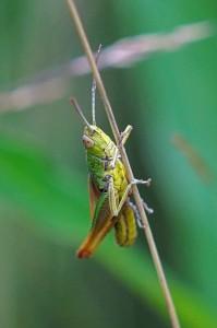 Brommer -Stenobothrus nigromaculatus