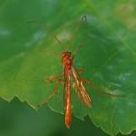 Sluipwesp -Aleiodes indiscretus