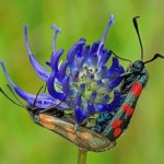 st Jansvlinder -dagactieve nachtvlinder Zygaena filipendulae