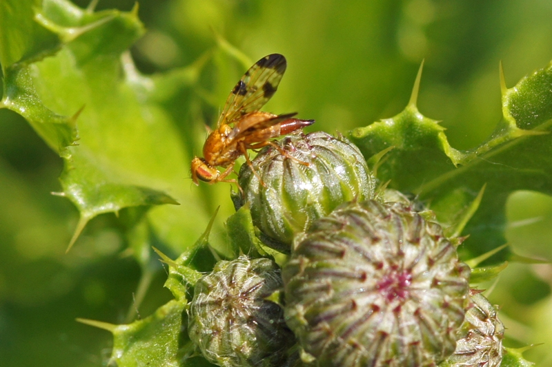 Akkerdistelboorvlieg -Xyphosia miliaria