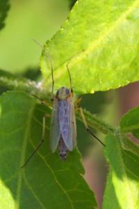 Dansmug-Chironomidae-vedermug