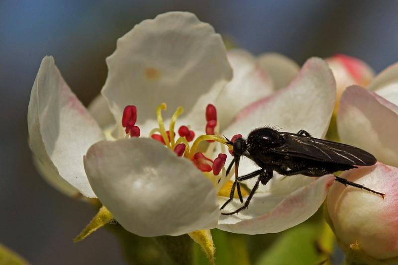 Zwarte Dansvlieg -Empis ciliata