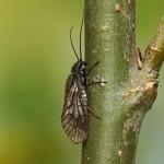 Elzenvlieg of slijkvlieg -Sialidae