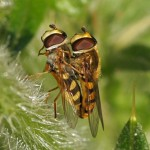Terrasjeskommazweefvlieg - Eupeodes corollae