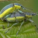 Groene Distelsnuitkever Chlorophanus viridis