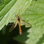 Houtlangpootmug - Tanyptera atrata
