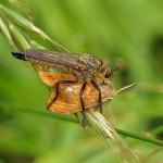 Roodbaardroofvlieg met prooi nachtvlinder