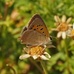 Kleine Vuurvlinder -3e generatie Lycaena phlaeas