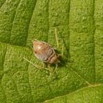Bladluis -Aphidoidea