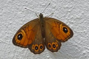 Rotsvlinder - Lasiommata maera maera