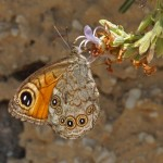 Rotsvlinder - Lasiommata maera