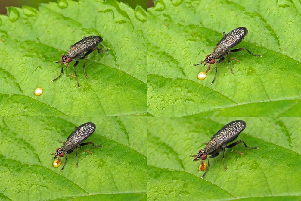 slakkendoder -Coremacera marginata