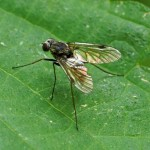 Gewone schubsnipvlieg - Chrysopilus cristatus -man