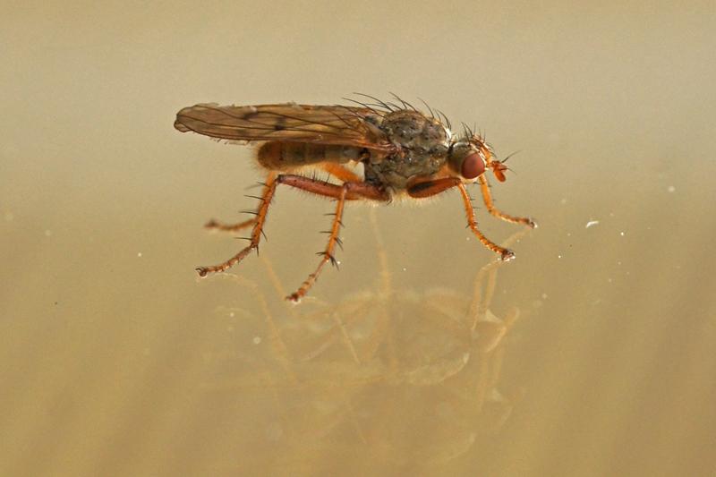 Strontvlieg -Scathophaga spec