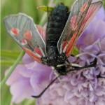 Alpen bloedvlekvlinder