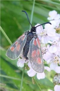 Kleine Sint-jansvlinder - Zygaena viciae