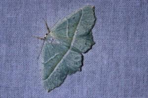 Appeltak (Campaea margaritaria)