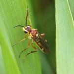 Bladwesp -Tenthredopsis nassata