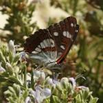 Blauwe IJsvogelvlinder - Limenitis reducta