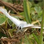 Bleek Blauwtje - Polyommatus coridon