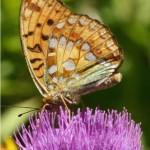 Bosrandparelmoervlinder -Argynnis adippe