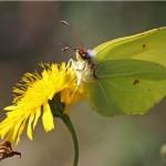 Citroenvlinder - Gonepteryx rhamn