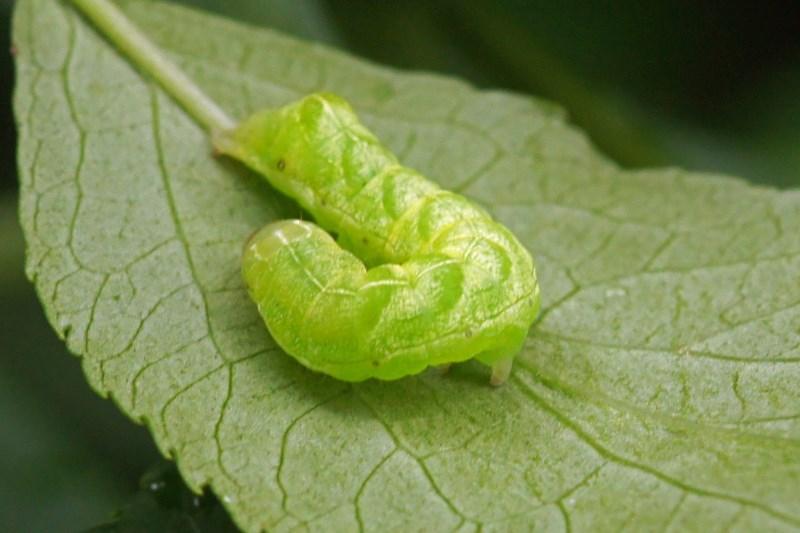 Rups van de Agaatvlinder