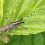 Distelbok Agapanthia villosoviridescens