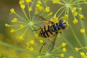 Doodskopzweefvlieg / Doodshoofdzweefvlieg Myathropa florea