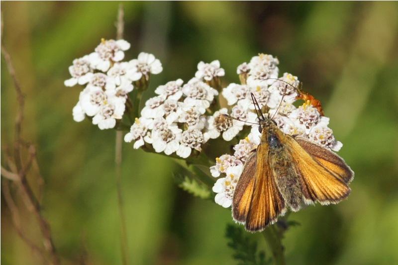 Geelsprietdikkopje - Thymelicus sylvestris