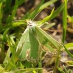 Gevlekte Zomervlinder - Comibaena bajularia
