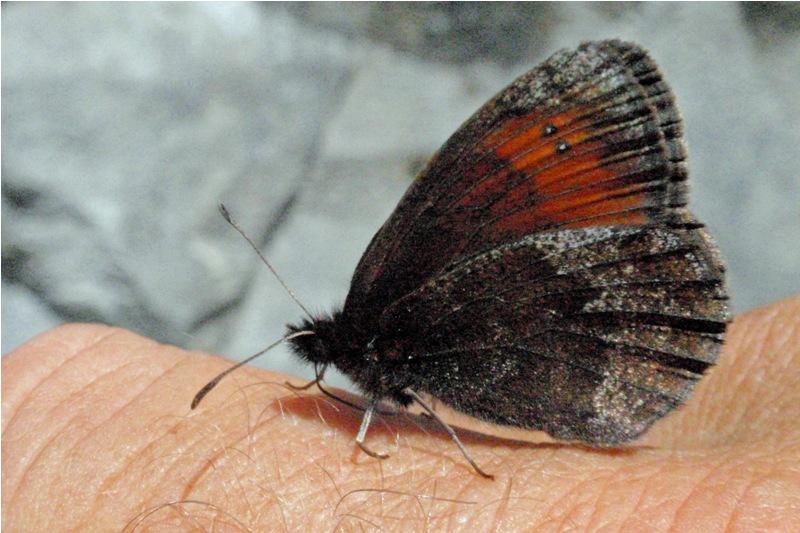 Gewone Glanserebia Erebia cassioides