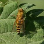 Gewone viltvlieg -Thereva nobilitata