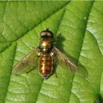 Prachtwapenvlieg - Chloromyia formosa