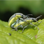 Groene Distelsnuitkever -Chlorophanus viridis