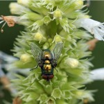 Groene Vleesvlieg - Phaenicia sericata