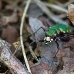 Groene Zandloopkever Cicindela campestris