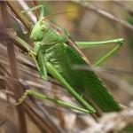 Grote Groene Sabelsprinkhaan Tettigonia viridissima