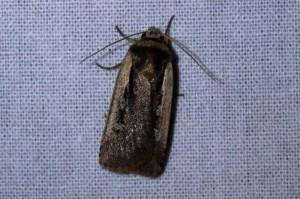 Haarbos (Ochropleura plecta)