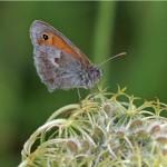 Hooibeestje -Coenonympha pamphilus