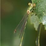Houtpantserjuffer -Chalcolestes viridis