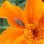 Bloemvlieg onbekend -Anthomyiidae indet