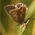 Icarusblauwtje ♀ Polyommatus icarus