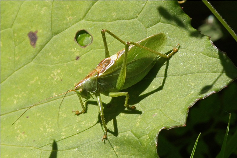 Kleine groene-sabelsprinkhaan -Tettigonia cantans