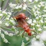 Kleine Rode Weekschildkever, Soldaatje of Rode Weekschild Rhagonycha fulva