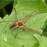 Kraamwebspin -Pisaura mirabilis